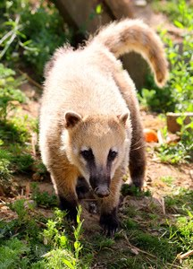 Coati at Noah's Ark Zoo Farm