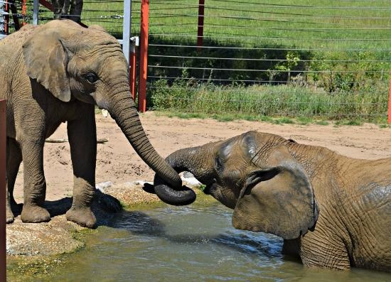 elephants_NAZF1 (550x397) (2)
