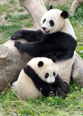 UK Zoo to welcome Giant Pandas