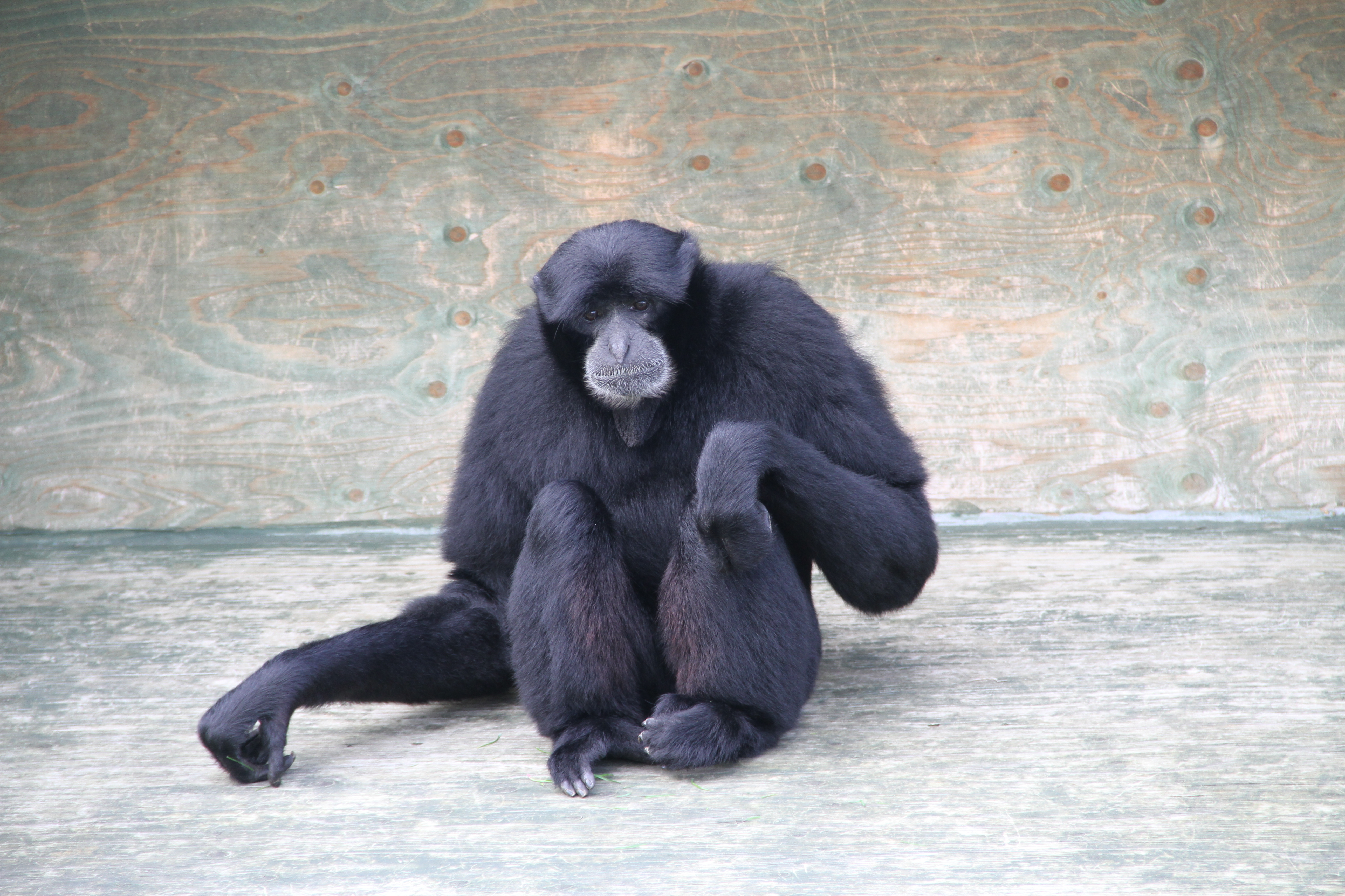 Gibbons (9)