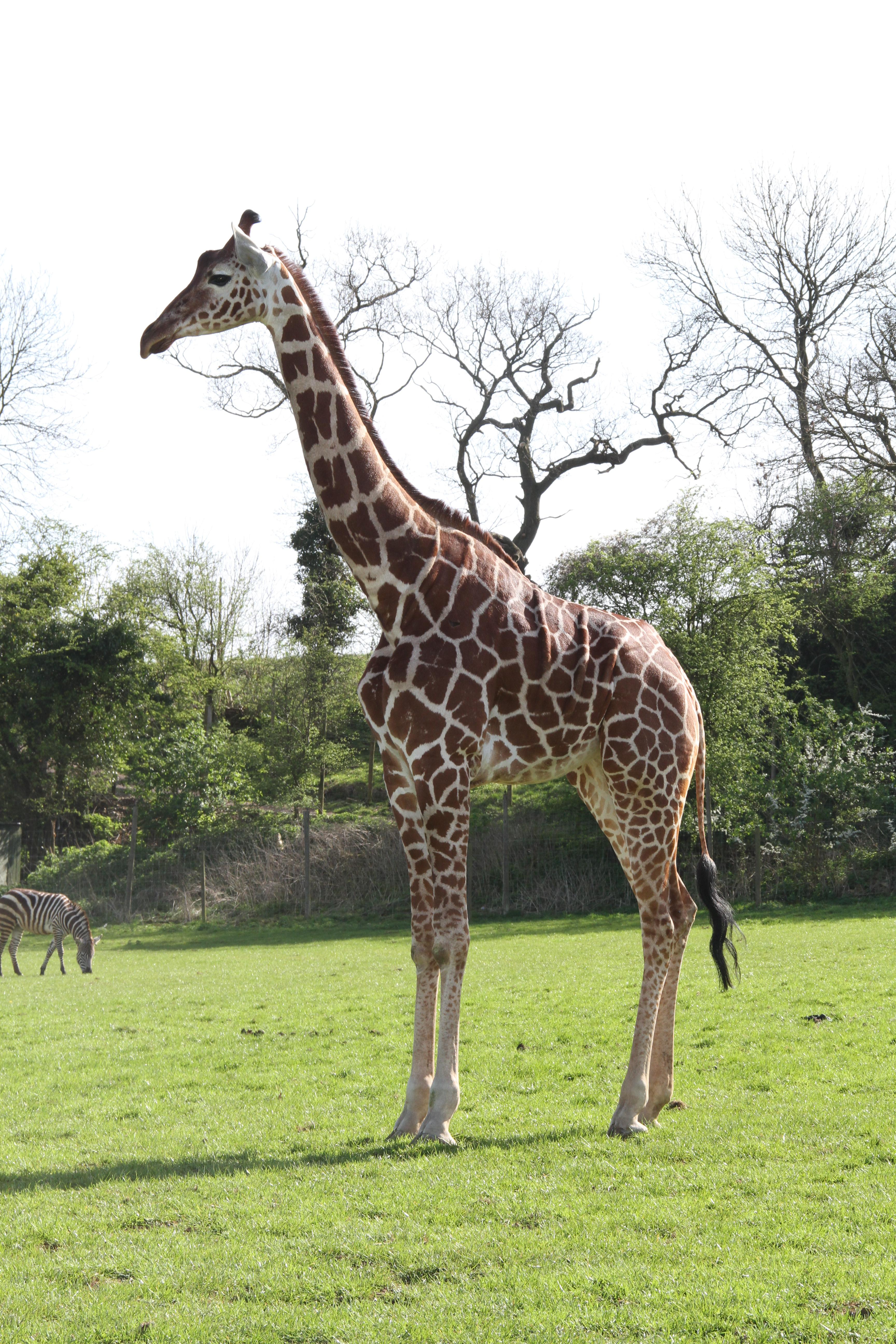 Giraffe (36)