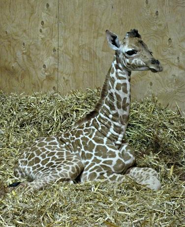 Baby Giraffe at Noah's Ark