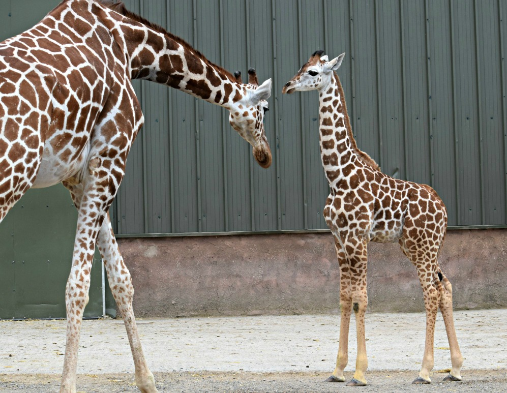 Giraffe family_NAZF2