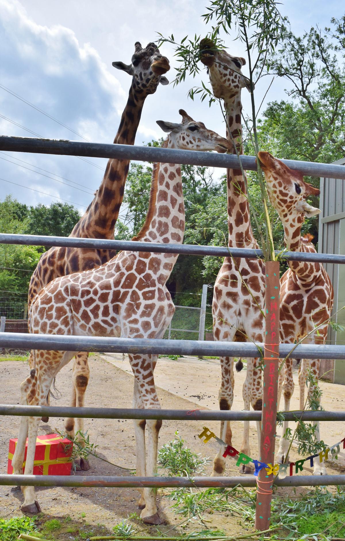 giraffe-group