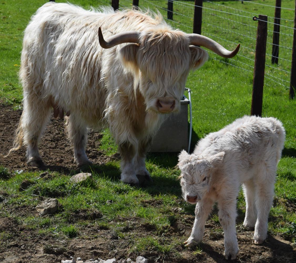 Highland calf_NAZF15