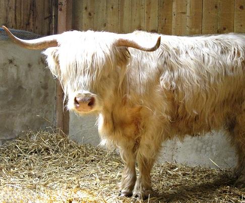 Marilyn the Highland Cow
