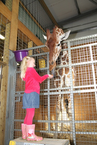 junior keeper with giraffes