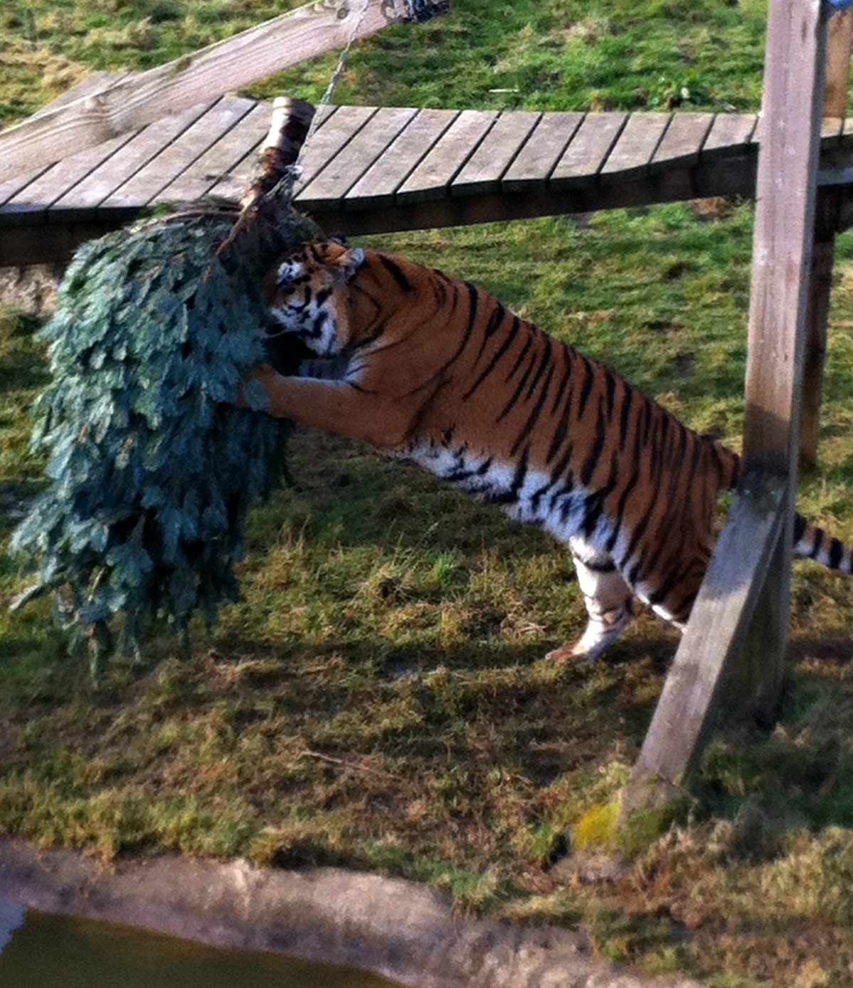 Tiger with Christmas Tree