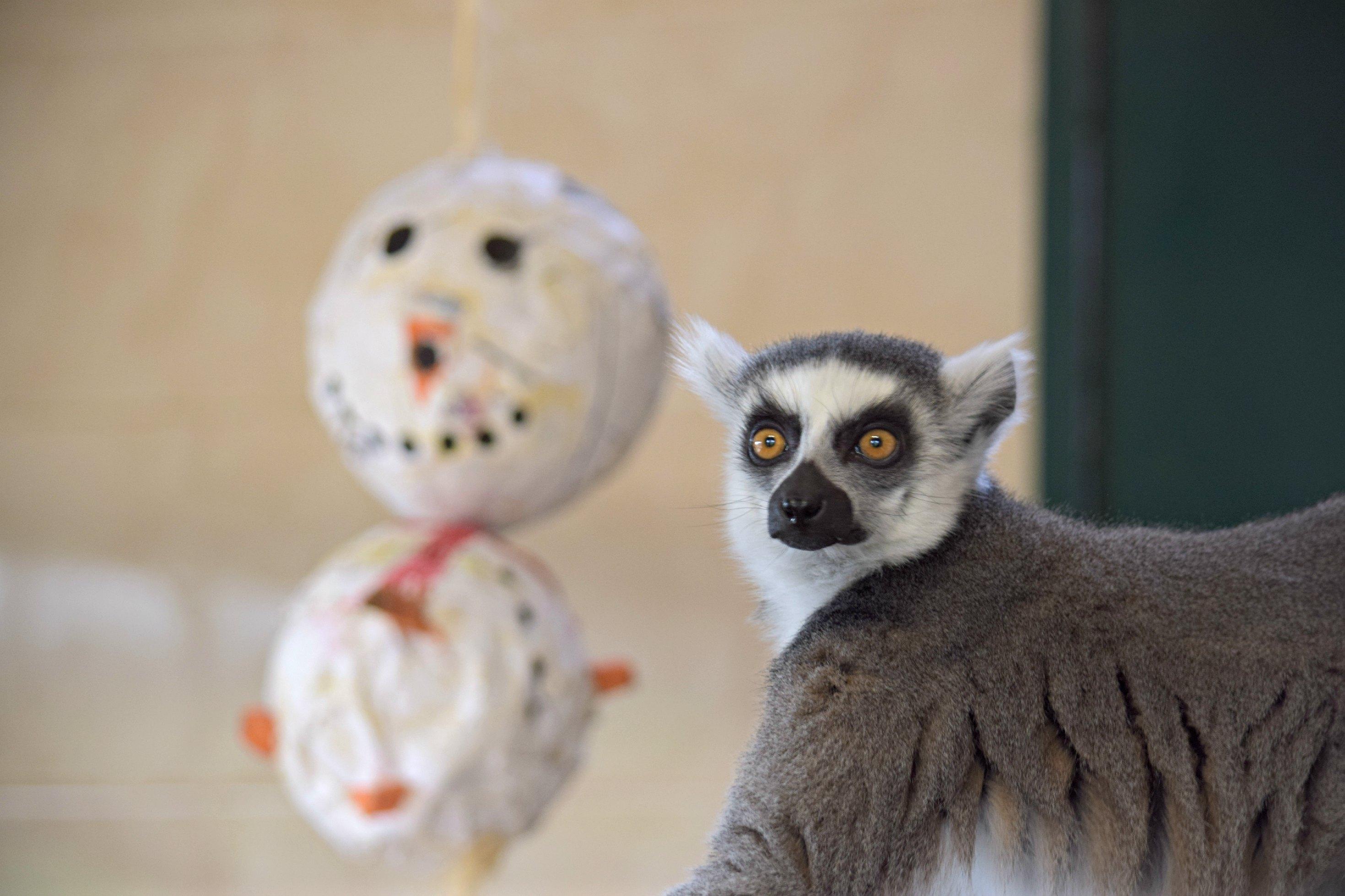 lemur_Christmas NF3