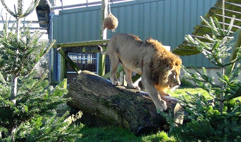 Lions enjoy the Xmas trees at Noah's Ark