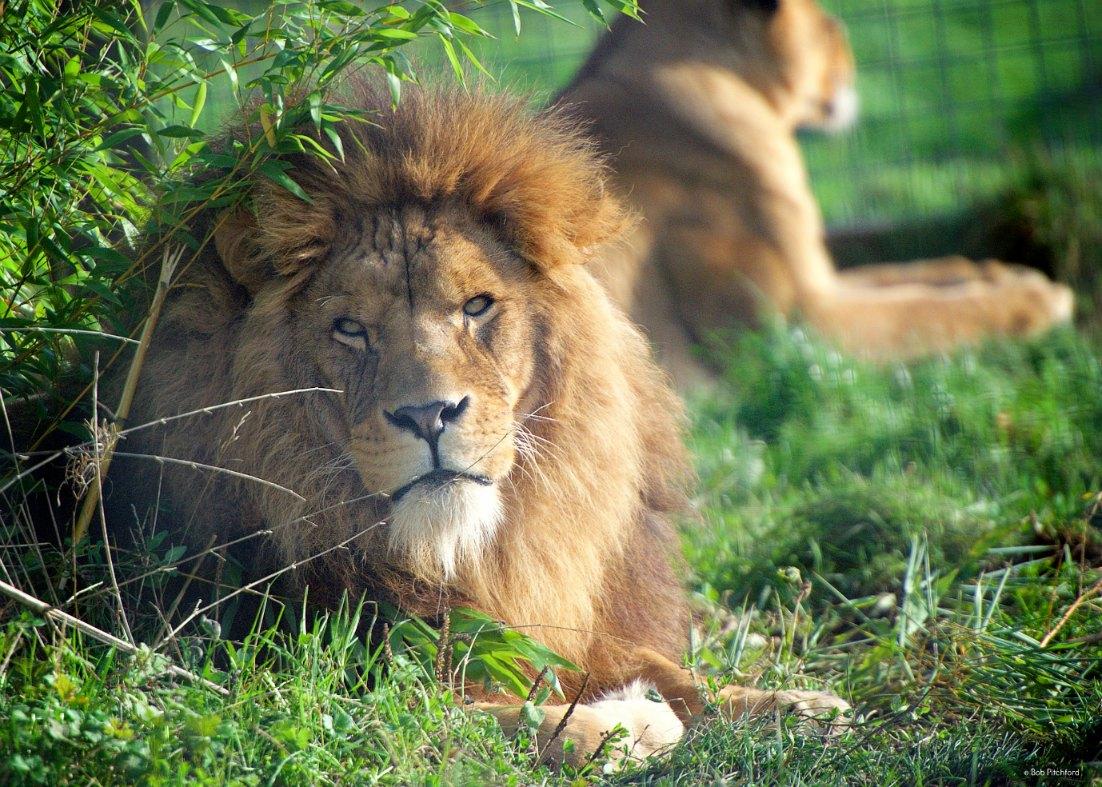 lions_2016A