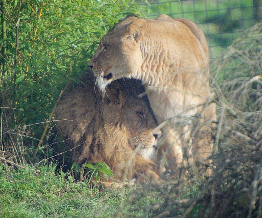 lions_2016B