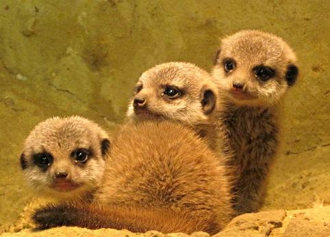 Meerkat-babies-Noahs-Ark