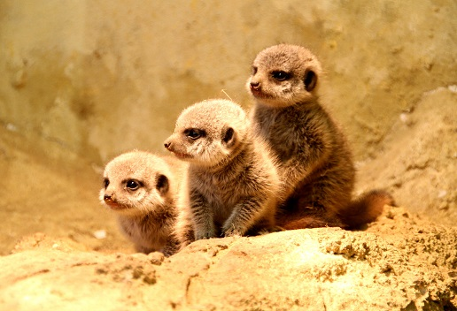 meerkats at the zoo