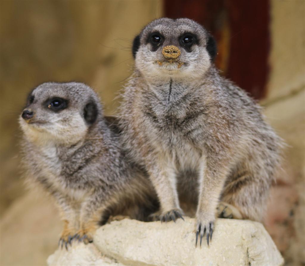 meerkats at noah's ark