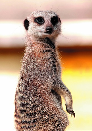 Meerkat Mothering Sunday