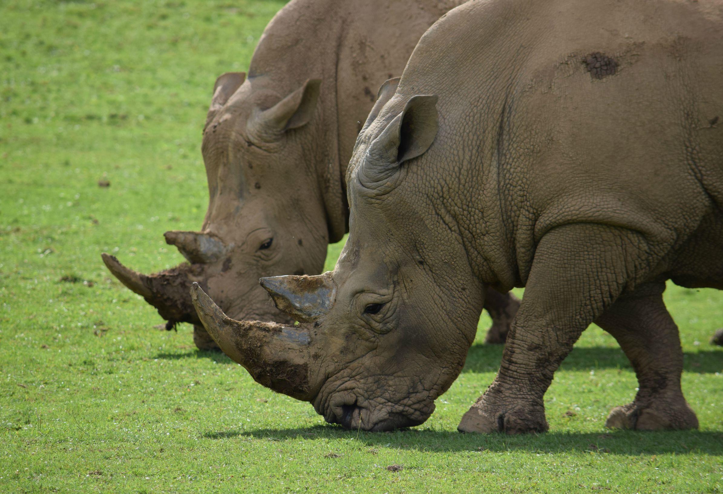 NAZF Rhinos1