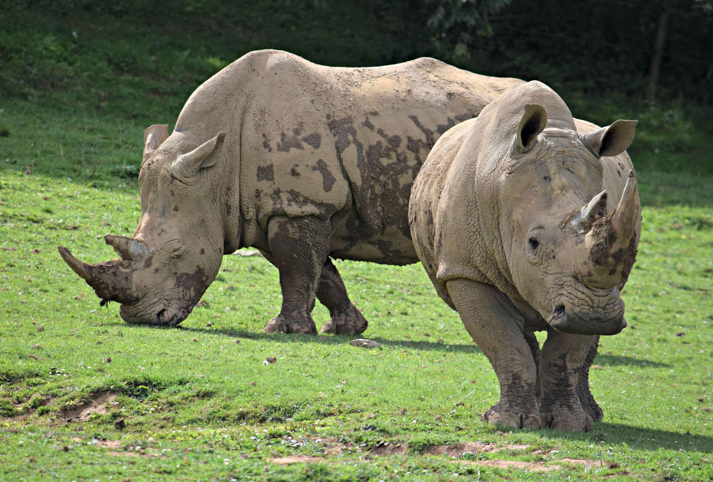 NAZF Rhinos2