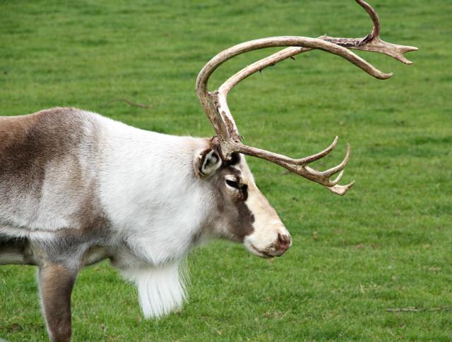 opening-hours-reindeer