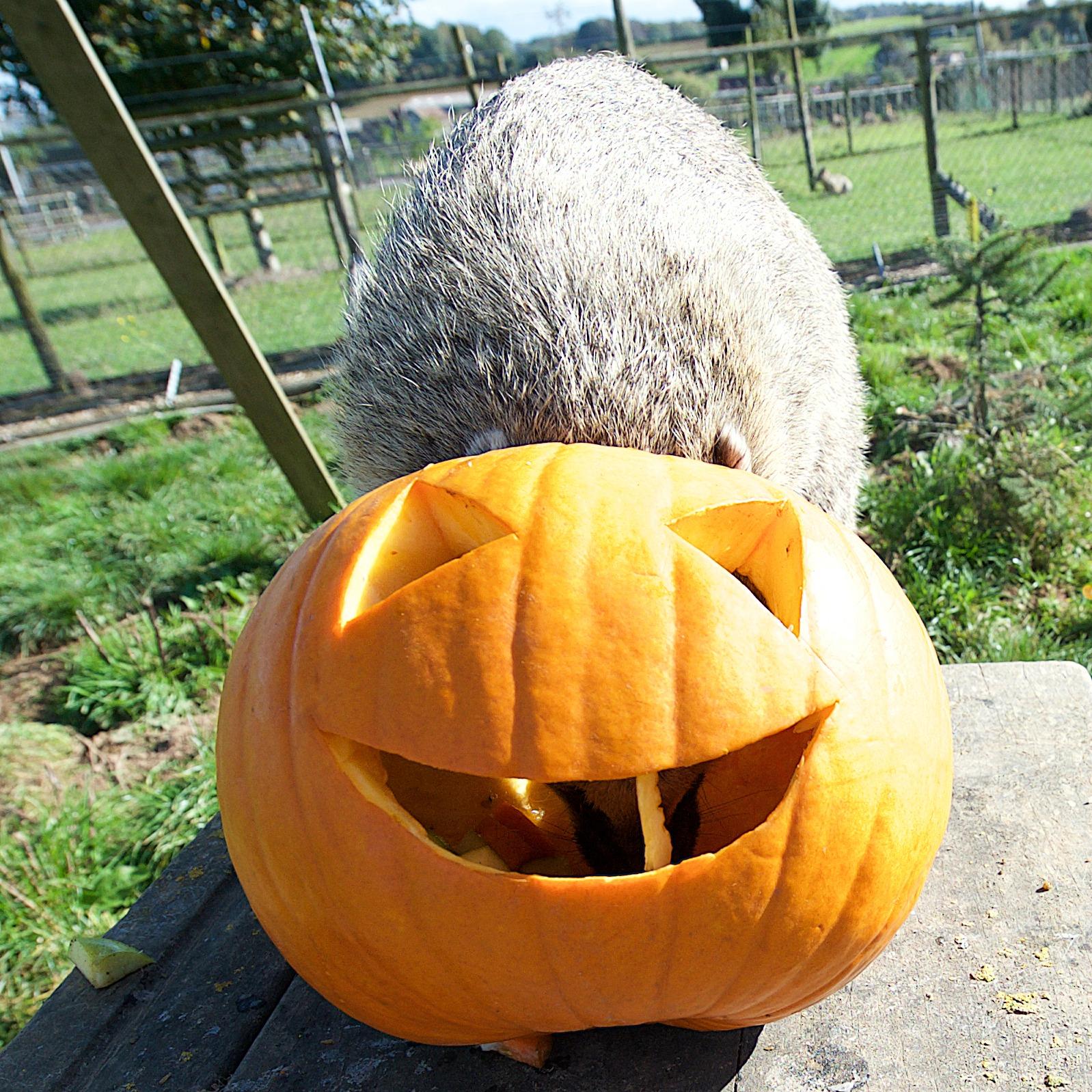pumpkin coatis_6