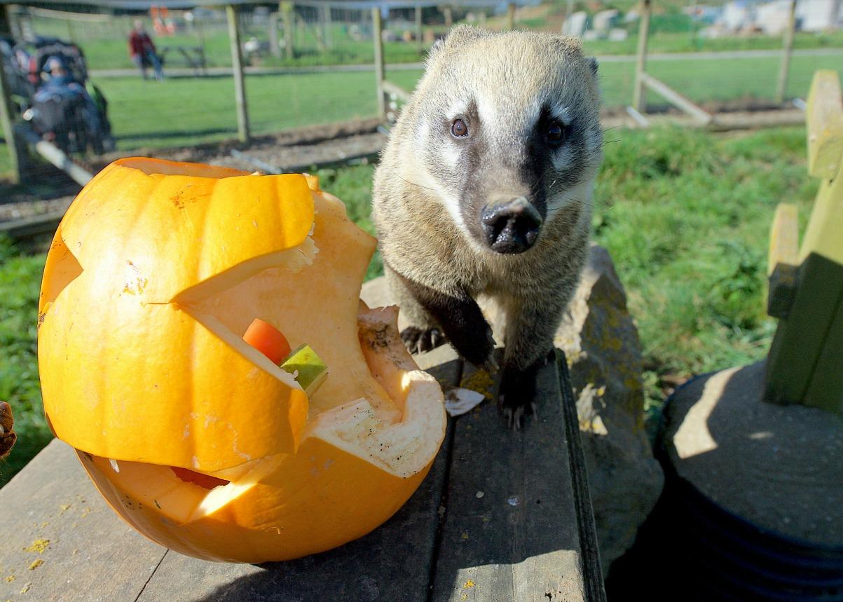 Pumpkin coatis_C