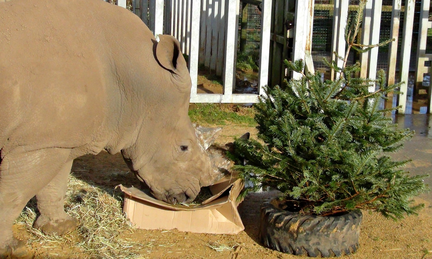 Rhino with Christmas Tree