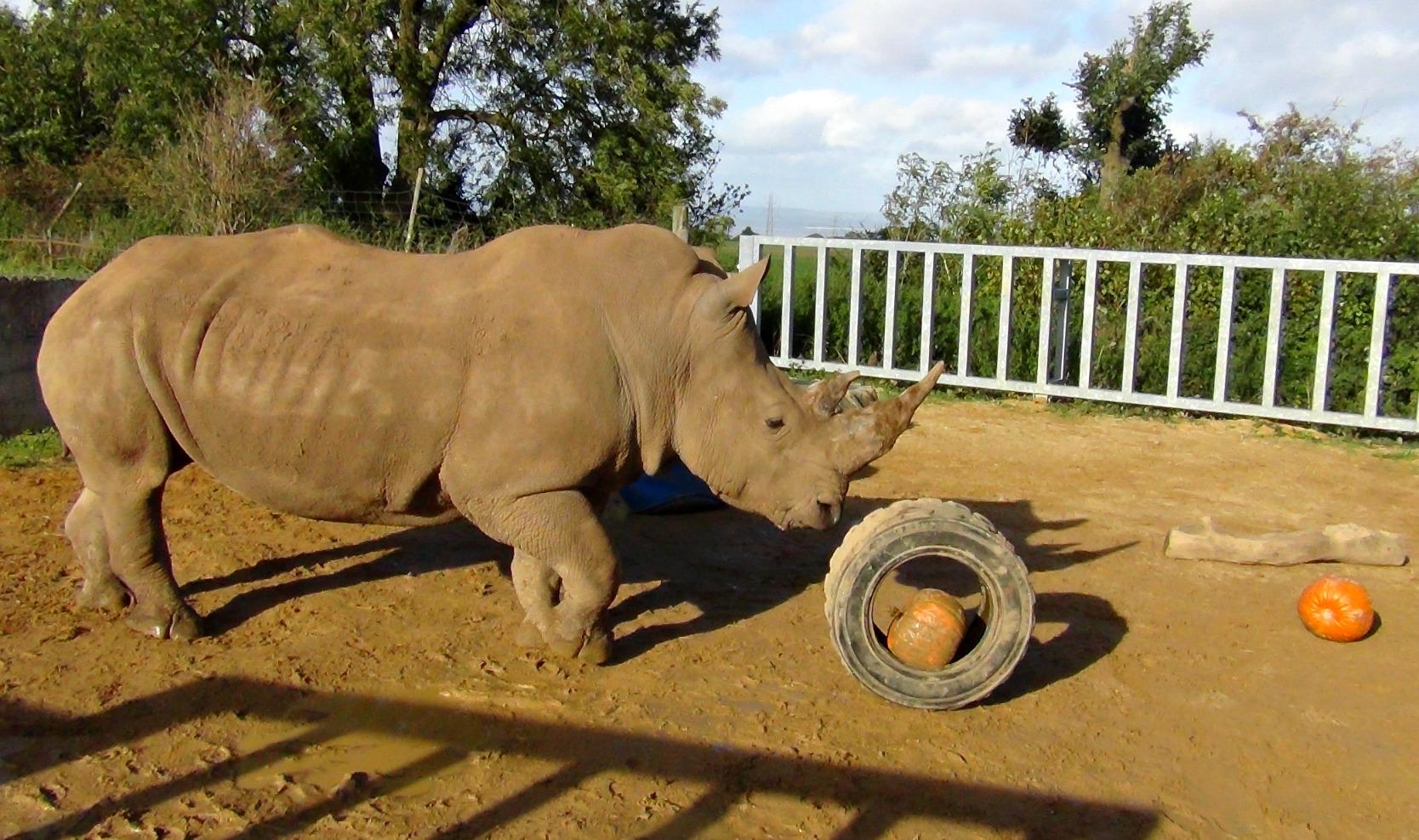 Rhino_pumpkin1