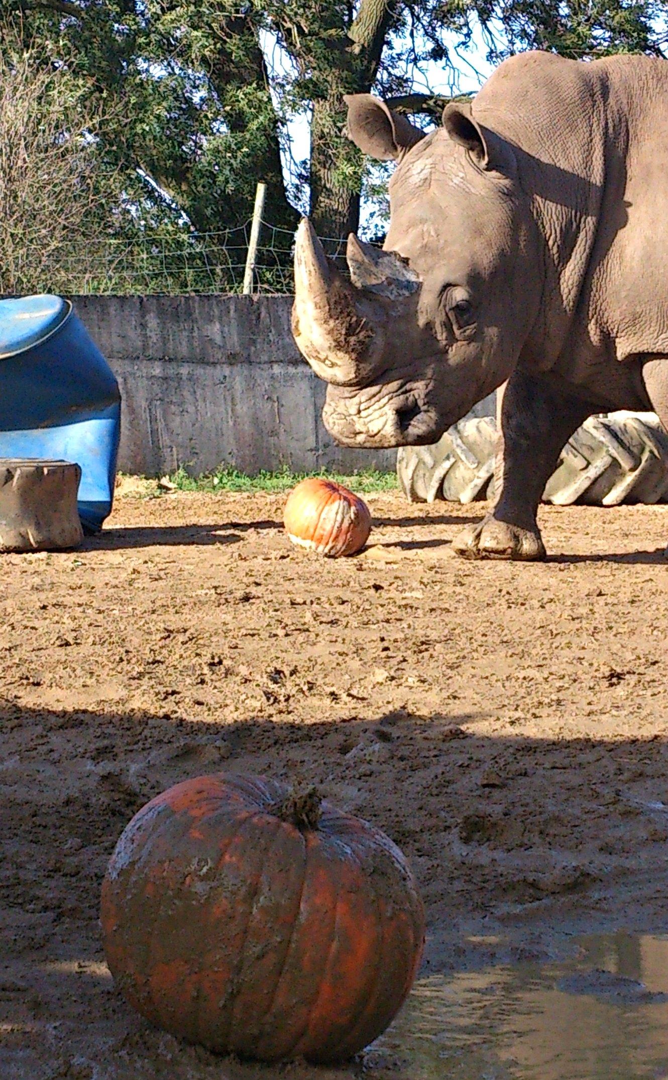 Rhino_pumpkin3