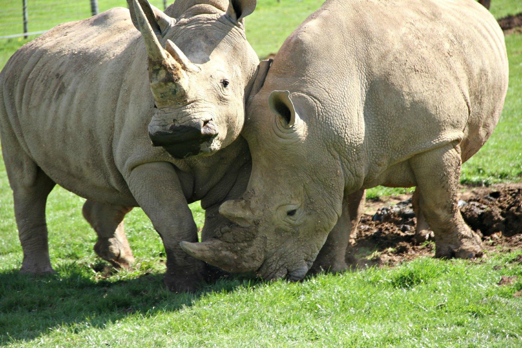 Rhinos2_Noah%27s Ark