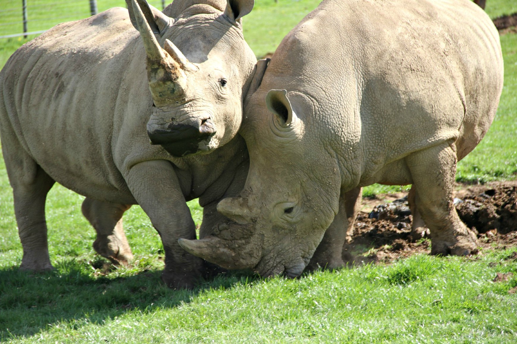 Rhinos2_Noah's Ark
