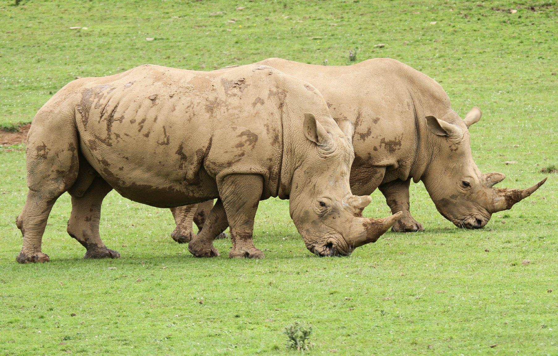 rhinos3_Noahs Ark