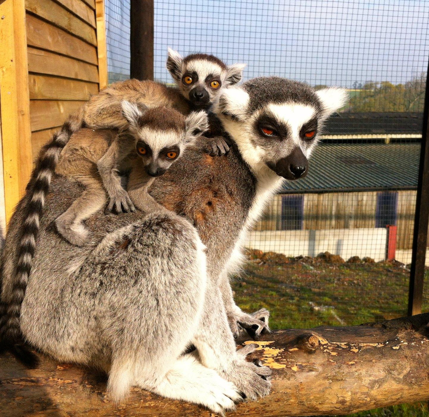 Ringtailed lemurs_Noah%27s Ark14