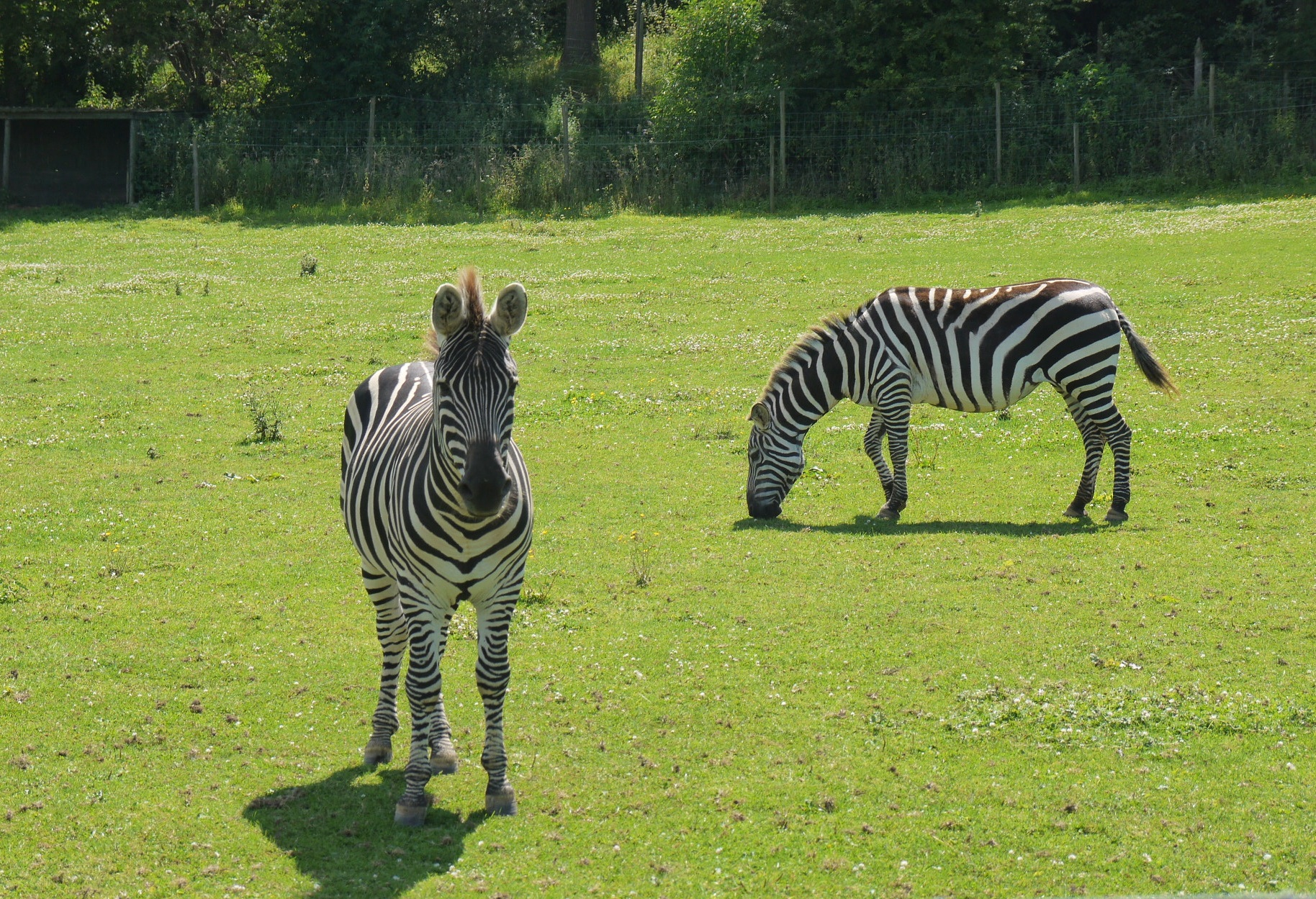 summer zebras