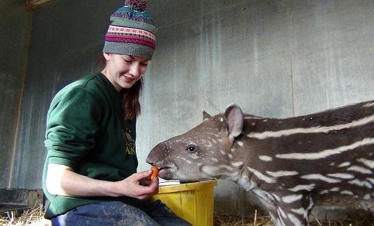 Baby tapir in Bristol