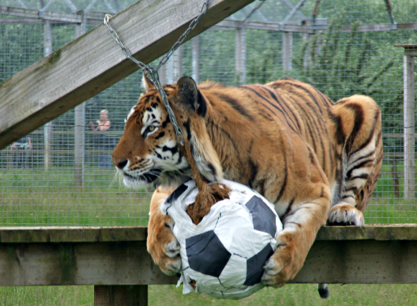 tiger Noah%27s Ark Zoo_World Cup14