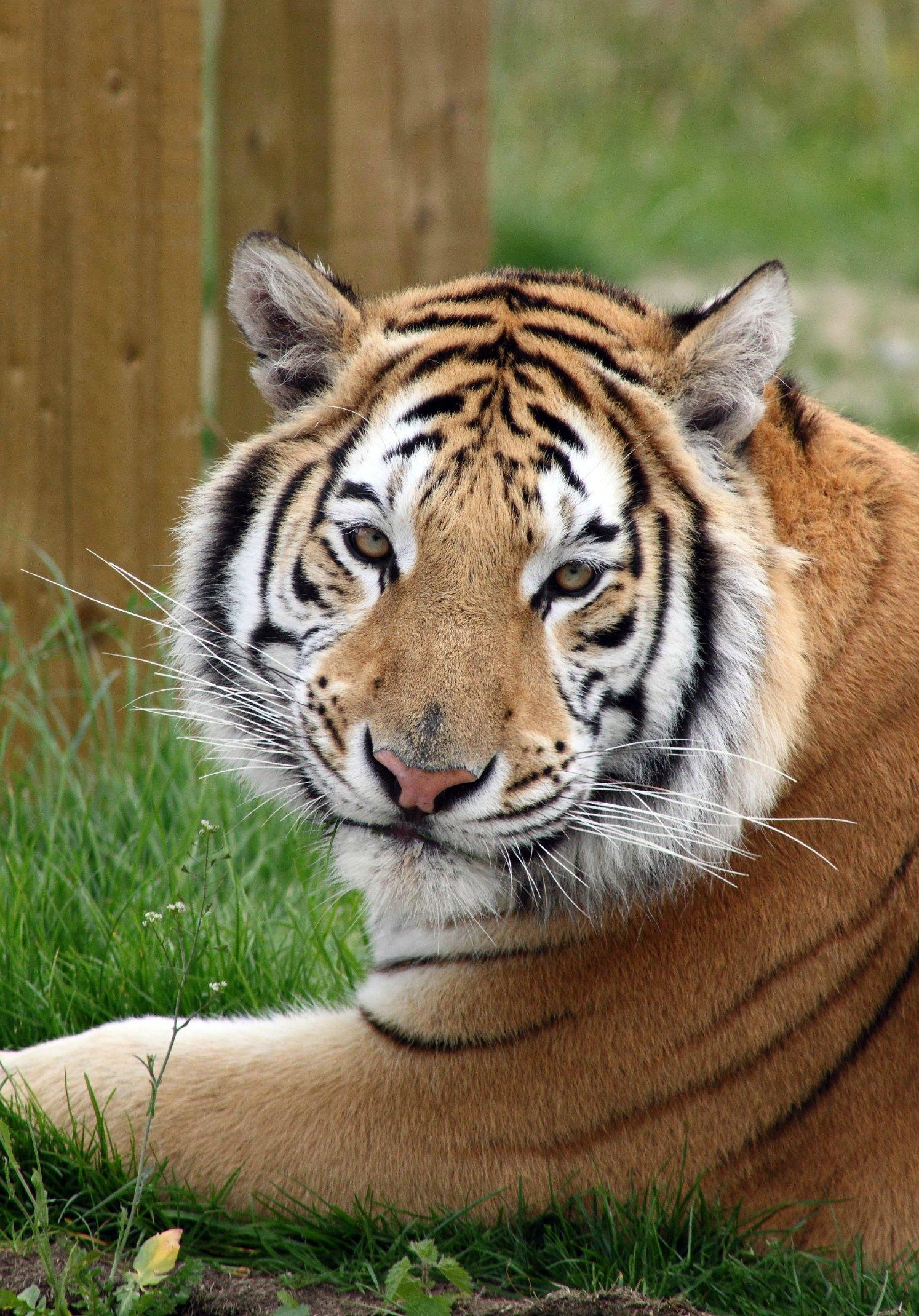 tiger_noah's ark