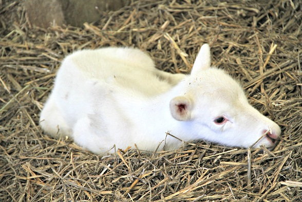 White baby reindeer