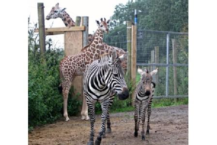 zagnatius zebra at the zoo