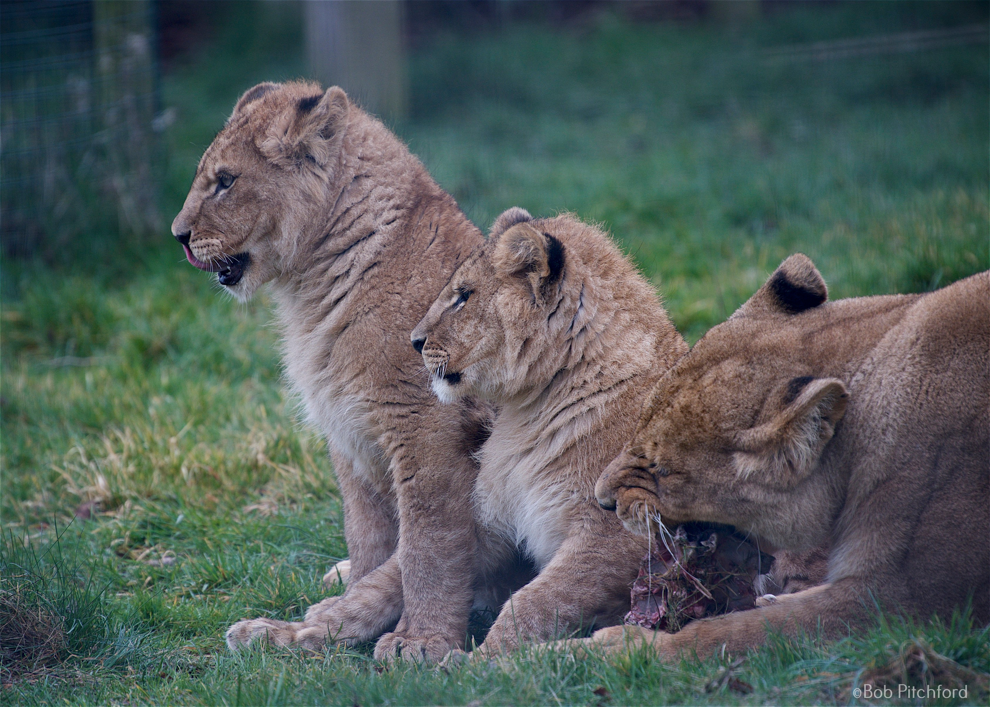 Lioness with 2 lion cubs