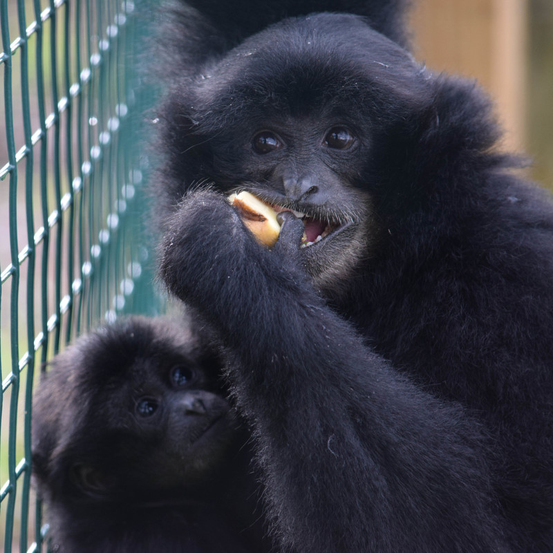 A young black Siamang Gibbon holds his younger brother whilst eating a snack.