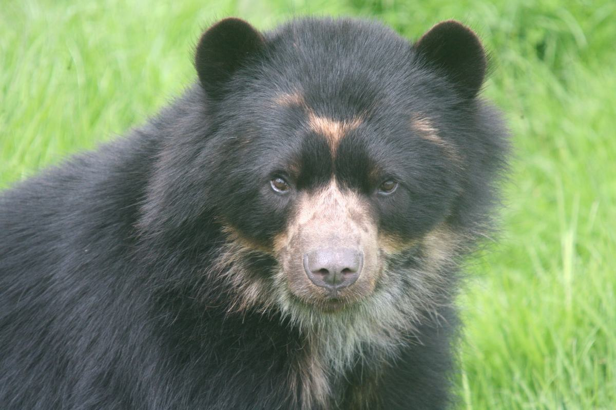 A close up of a black Andean Bear staring at the camera.