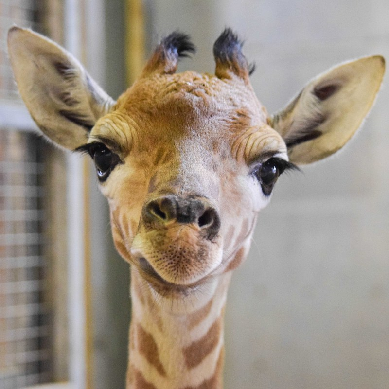 A close up head shot of a young Giraffe smiling at the camera.