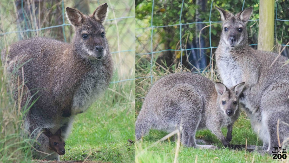 A young joey sticking her head out from her mothers pouch and a comparison as she stands next to her mum months later.
