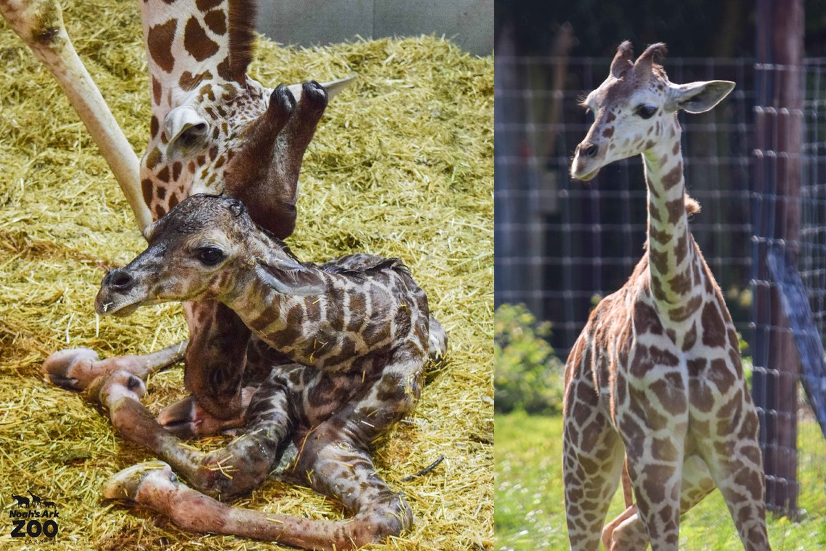 A comparision of young Gus the Giraffe at minutes old and now at 5 months old