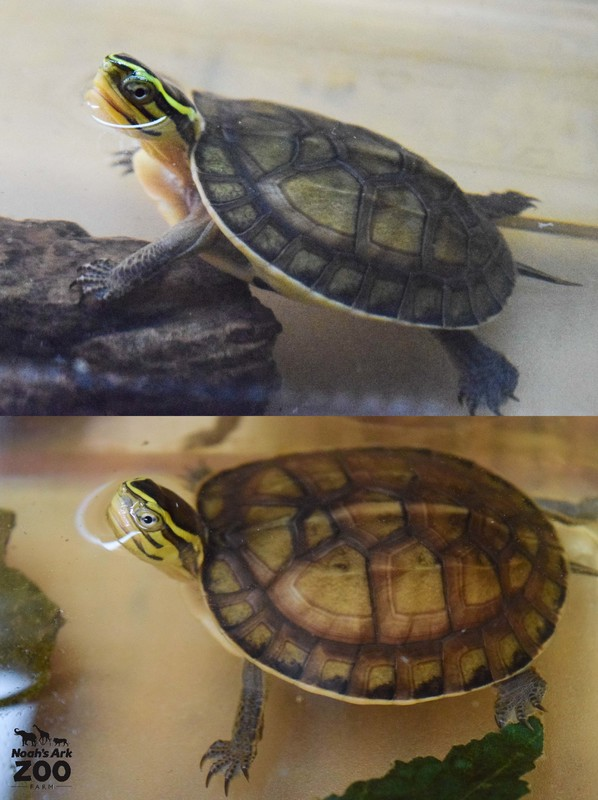 A comparison of a young Box Turtle at days old and at 4 months old.