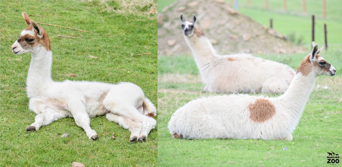 A side by side comparison of a young llama at days old and 5 months old.