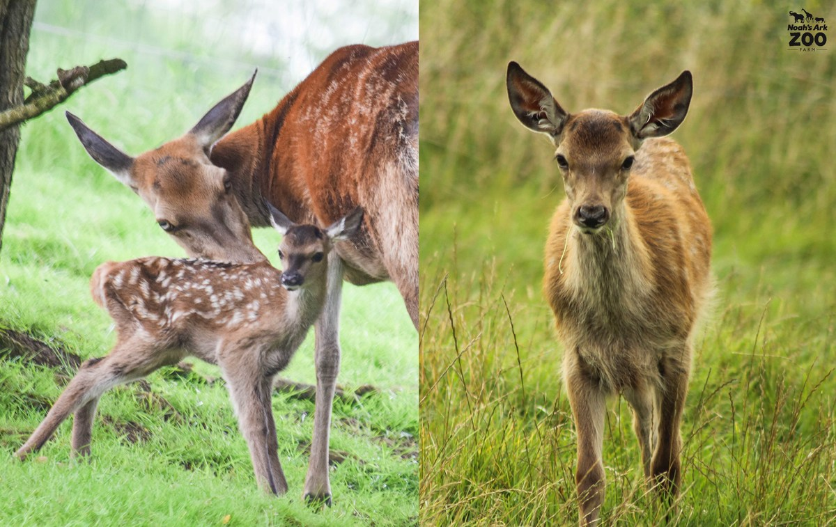A young deer standing with mum at hours old and a contrasting image of the young calf at 4 months old