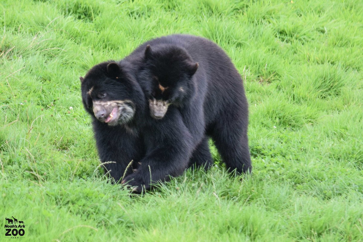 One black Andean Bear tackles another from behind in a grassy field