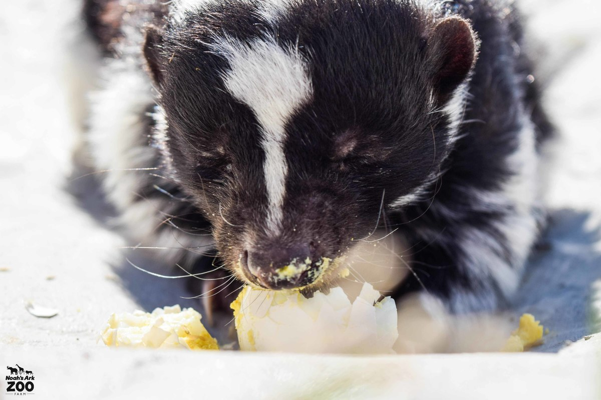 A close up of a black-and-white Skunk eating a hard-boiled egg