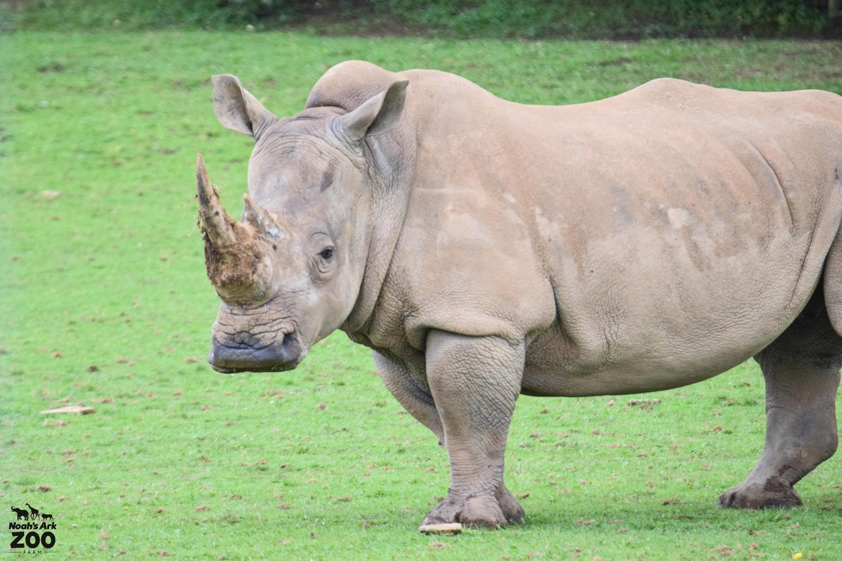 A large grey Rhino stands in a grassy field